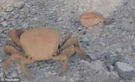 cangrejo se amputa su propia pinza o garra
