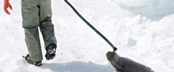 cazador de focas en Canadá