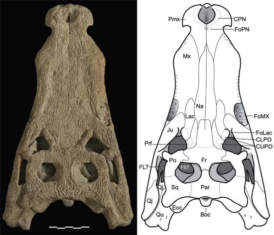 cráneo cocodrilo marino del Jurásico Goniopholis kiplingi