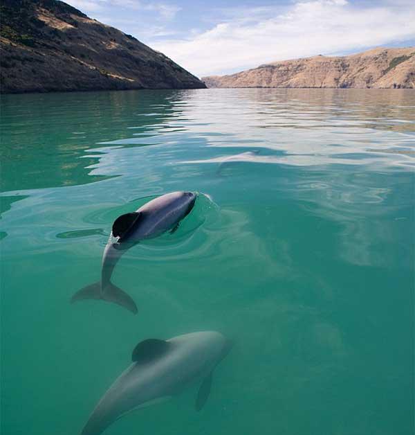 delfín de Maui, Nueva Zelanda
