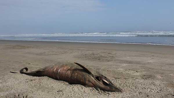 delfín varado en una playa de Perú