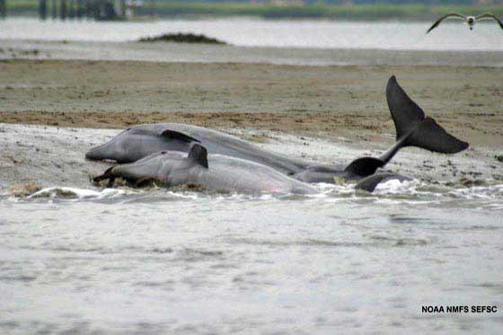 delfines varados en el Golfo de México