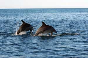 dos delfines macho en Shark Bay