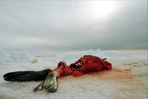 cría de foca despellejada en Canadá