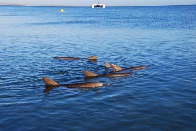 grupo de delfines en Shark Bay