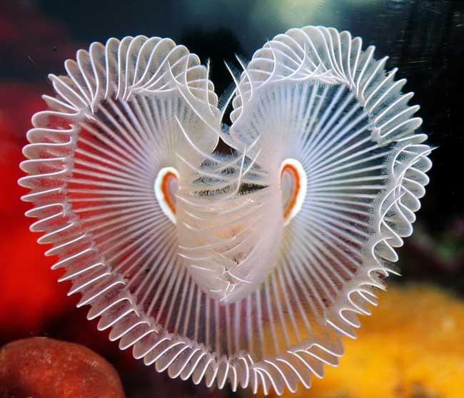 gusano marino Sabellastarte en forma de corazón