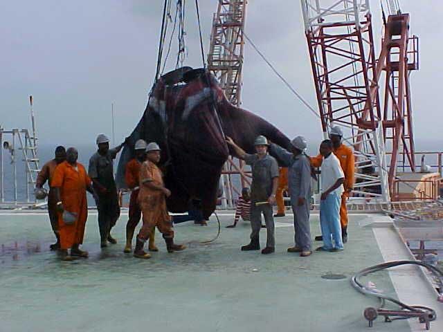 manta raya gigante capturada en Nigeria