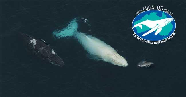 Migaloo, la ballena blanca y un delfín