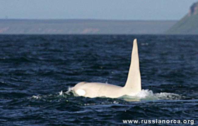orca blanca avistada en la costa de Rusia