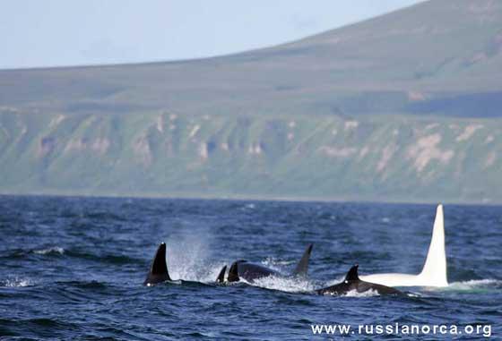orca blanca con su manada en la costa de Rusia