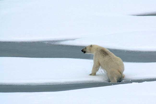 oso polar sube al hielo