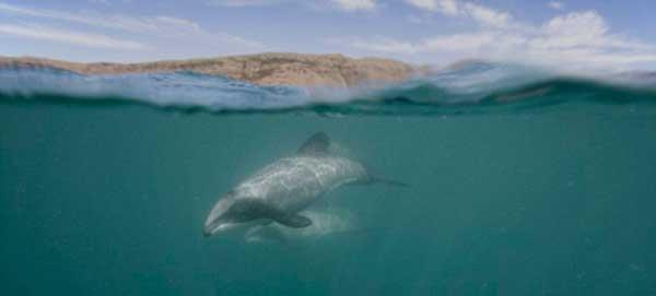 pequeño delfín de Maui
