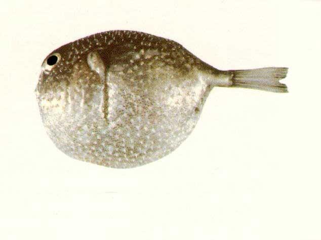 pez globo feroz (Feroxodon multistriatus)