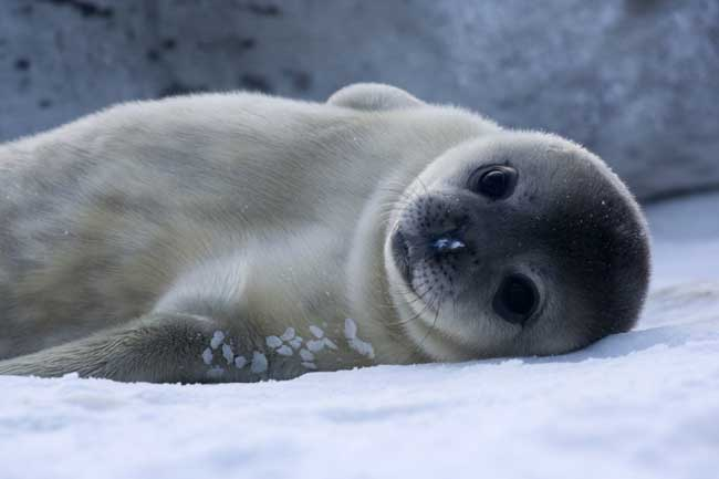 piel de foca