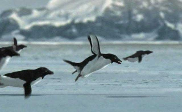 pingüinos voladores