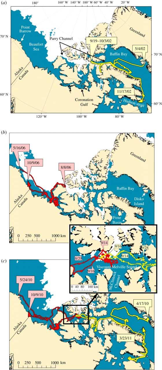 rutas de las ballenas francas por el Paso del Noroeste