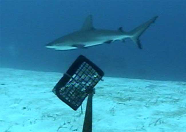 tiburón frente a una cámara trampa