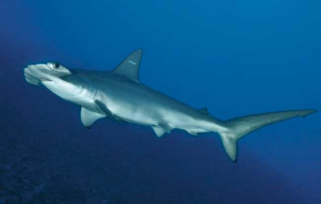 tiburón martillo festoneado (Sphyrna lewini)