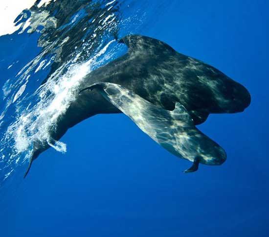 ballena piloto y su cría