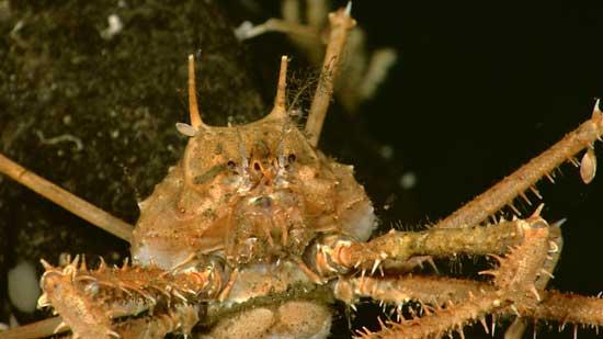 exoesqueleto de cangrejo majid