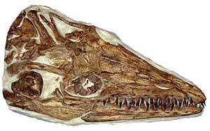 cráneo de mosasaurio Platecarpus