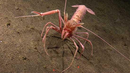 crustáceo Indonesia