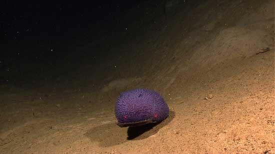 esponja morada