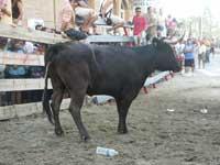 fiestas taurinas de Peñíscola, vaquilla haciendo sus necesidades