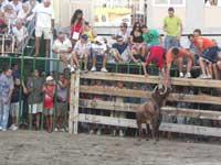 fiestas taurinas en Peñíscola, vaquilla en la plaza de toros