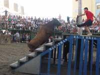 fiestas taurinas en Peñíscola, vaquilla en la plaza de toros sube escalera