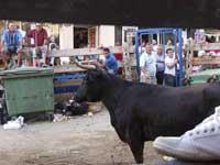 fiestas taurinas de Peñíscola, vaquilla