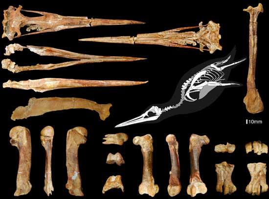fósiles del Inkayacu paracasensis