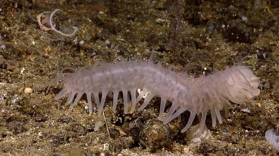 gusano marino blanco