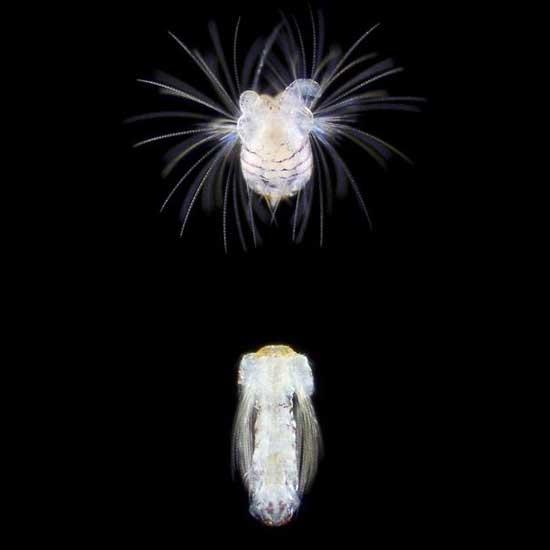 larva de Spionid polychaete