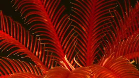 lirio de mar rojo