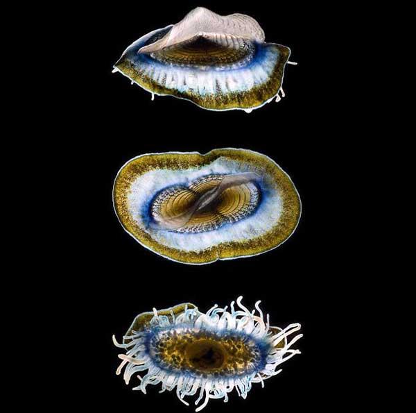 medusa Velella velella