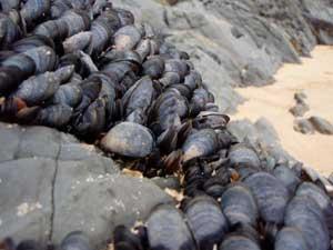 mejillones marinos