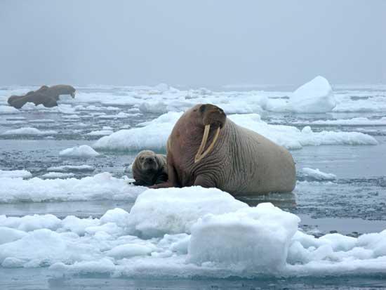 morsas sobre hielo marino