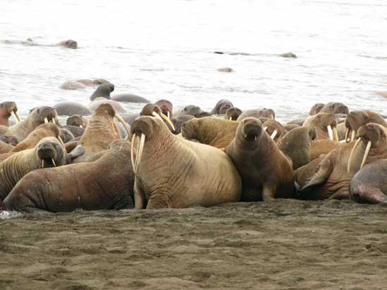 morsas en playa de Alaska