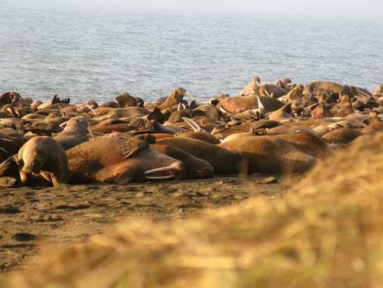 manada de morsas en playa de Alaska