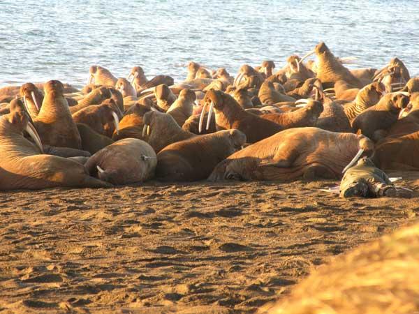manada de morsas en una playa de Alaska