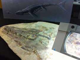 mosasaurio, fósil en el Dino Laboratorio