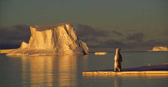 oso polar entre los hielos