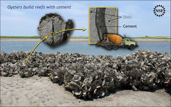 pegamento de las ostras