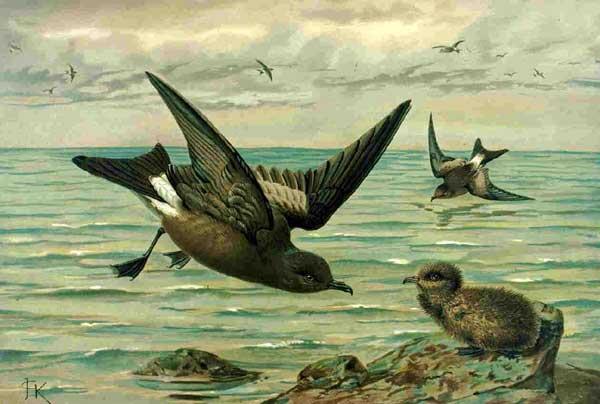 petrel o paíno europeo (Hydrobates pelagicus)