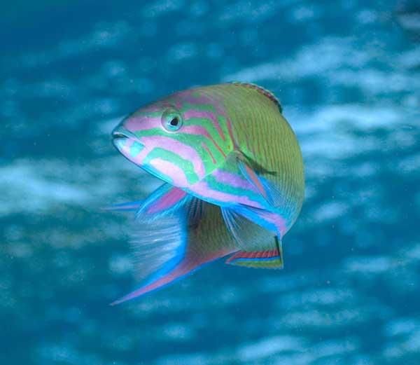 pez arco iris