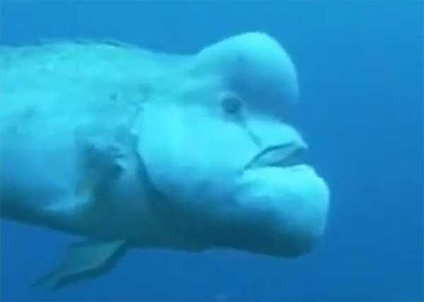pez blobfish, borrón o gota