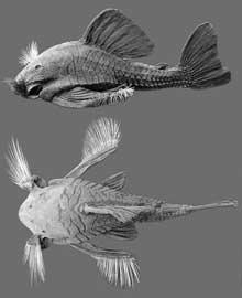 pez gato come-madera macho
