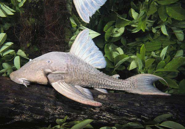 pez gato comedor de madera