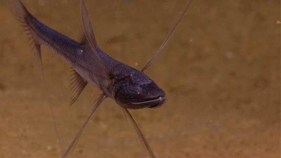 pez trípode en el mar de Indonesia